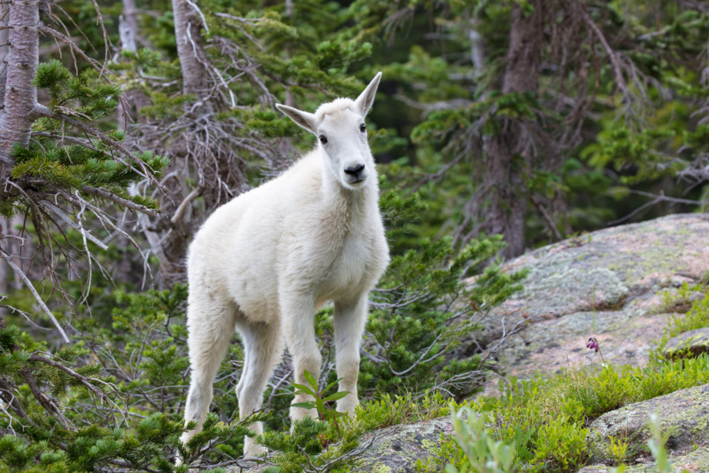 Notes From the Field: Eagle's Nest Mountain Goats